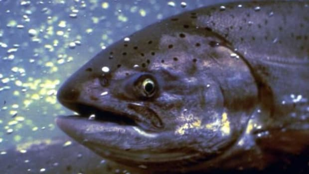 Fisheries and wildlife officials are predicting a massive fall chinook salmon run. Spring-winter, not so good.