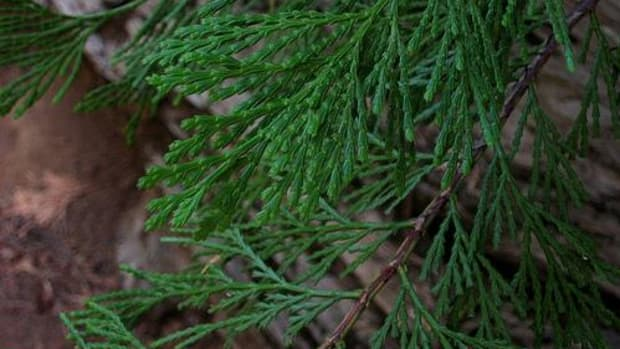The Anishinaabe used cedar for teas, smudging and medicine before a private study found high cadmium levels in it. (Erutuon/flickr)