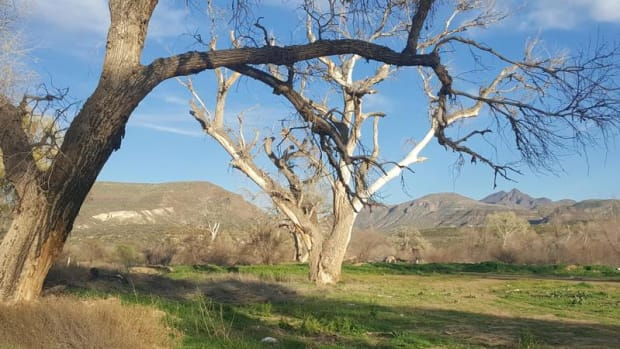 Dead cottonwoods alongside the Gila River on the San Carlos Apache Reservation. Tribal members believe dioxin left by spraying of the herbicide silvex in the 1960s and '70s is to blame.
