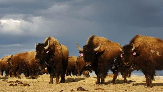 Bison on the Fort Peck Indian Reservation, where they were reintroduced after more than a century.