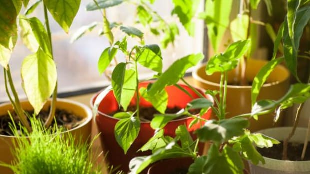You can grow as little or as much as you want depending on the size of your windowsill.