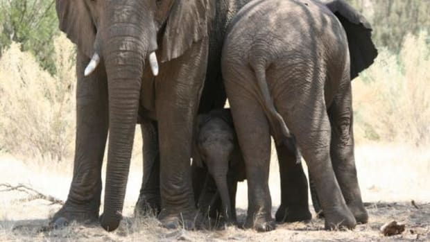 Elephants protect their newborn in Namibia