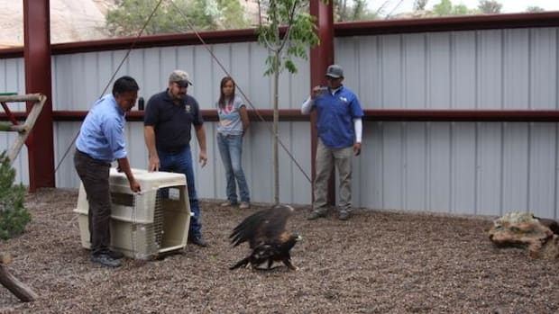 FWS employees Michael Eldon Brown, left, and Joe Early release golden eagle at Navajo Zoo