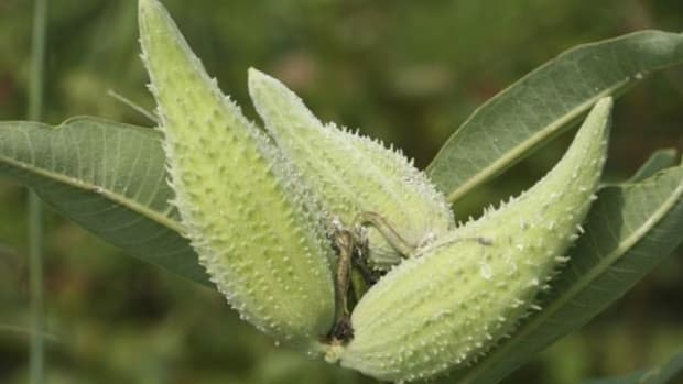 Milkweed soup requires time and effort—and a bowl. (Thinkstock)
