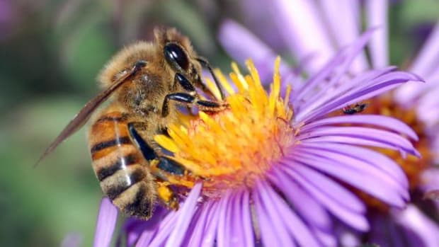 A honeybee extracts nectar from a flower. (wikicommons)