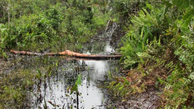 A recent crude oil spill in Lot 8X. This Lot is located within Peru's largest National Reserve Pacaya Samiria, famous for its sensitive wetlands. For decades irresponsible oil activity has heavily affected local communities and life in general in the Reserve. The Kukama people have long been denouncing these facts but, until recently, have largely been ignored.