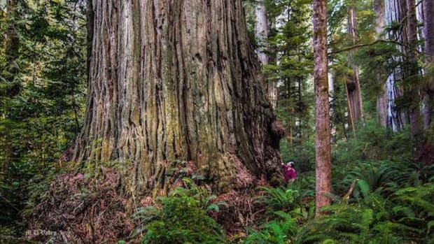 Redwood trees, some 2,000 years old, can tower 350 feet high.