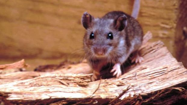 Hantavirus is a potentially deadly disease caused by a virus carried by rodents. It can lead to Hantavirus Pulmonary Syndrome (HPS) which causes the lungs to fill with fluid and can cause respiratory failure. (Courtesy South Dakota Department of Health)