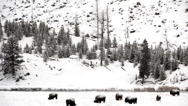 Bison in Yellowstone National Park. Those that stray outside the northern borders in winter are liable to be scooped up and shipped to slaughter.
