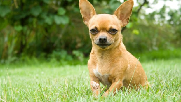 chihuahua, Indian Dog Breed