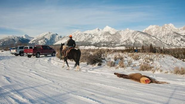 A cow elk is dragged by horse to the Blacktail Ponds Overlook during the Elk Reduction Program in Grand Teton National Park. A lawsuit filed on October 20 by two photographers seeks to stop the hunt.