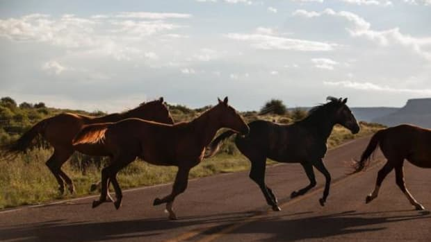Tens of thousands of feral horses roam free in the West.
