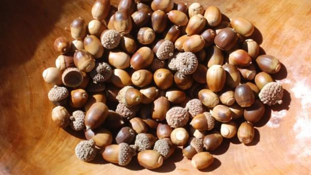Forest acorns, ready for drying, grinding, leaching, and processing into nutritious treats.
