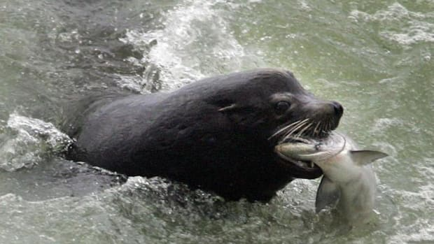 A sea lion catches an endangered Chinook salmon migrating up the Columbia River just below the spillway at Bonneville Dam, Washington, on April 12, 2007. The animals have been plaguing endangered salmon species for years, but the predation problem is reaching a crisis stage.