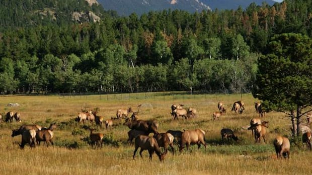 Elk used to roam the traditional territory of the Fond du Lac Band of Lake Superior Chippewa in what is today Minnesota in herds like this one in Rocky Mountain National Park.
