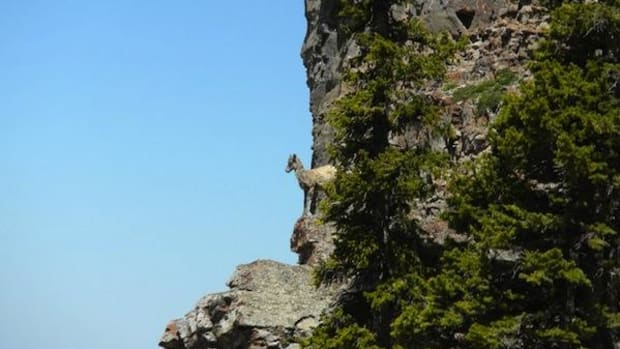 A bighorn sheep lamb looks out from a cliff face in the Tetons, where an isolated non-migratory lives year-round.