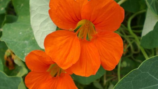 Nasturtium is one of many edible flowers.