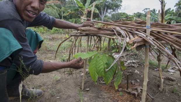 A member of the Playon Chico cacao project with a small cacao tree, a local variety, that grows under a shelter to provide some shade.