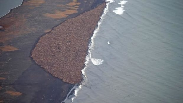 This is what 35,000 walruses look like when they do not have sea ice to rest on in the open water.