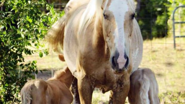 2017_05_19 HDIMT_CROP_quarter horse mare gave birth to twin horses in Bastrop County, Texas_twin-horse_KXAN_Jenny Tucker