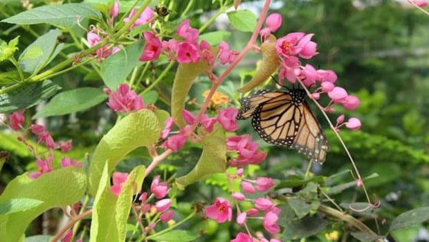 A monarch butterfly gets nutrients from a flower at Butterfly Wonderland in Scottsdale. Milkweed plants are the only food source for the butterfly's offspring.