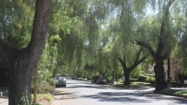 Trees along a California street. Collectively, they do enough work to be worth $1 billion.
