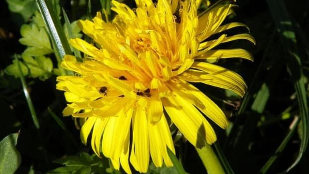 Dandelion leaves are plentiful and full of phytonutrients.