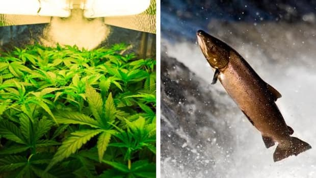 Illegal marijuana grows have been using hefty portions of scarce river water in those counties, threatening both water resources and salmon habitats.