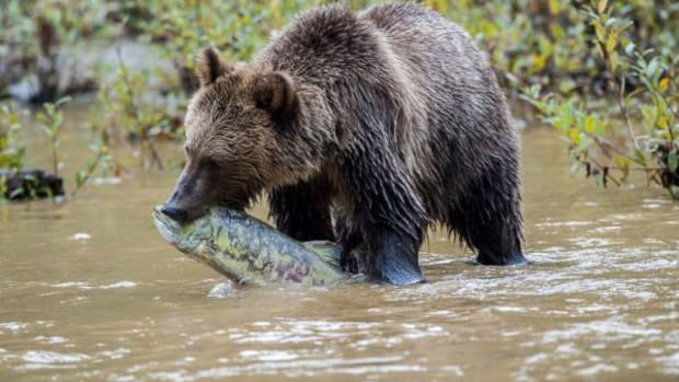 The Homalco First Nation in British Columbia offers guided tours so the bears can be photographed.