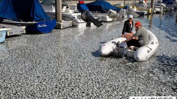 About a million dead sardines floated to the top of Redondo Beach harbor on Tuesday, March 8.