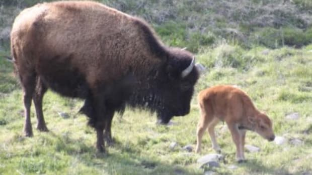 The newest addition to the Wind River Reservation—a buffalo calf—is part of the herd of bison released in November 2016.