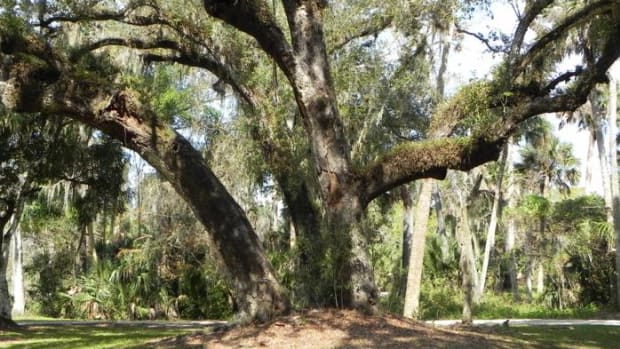 The Tree of Tears is dying as evidenced by the bark peeling. The Loxahatchee Battlefield Preservationists are trying to preserve this 300-year-old tree that Seminole Tribe warriors gathered around during the Second Seminole War. Beneath the tree is a burial mound.