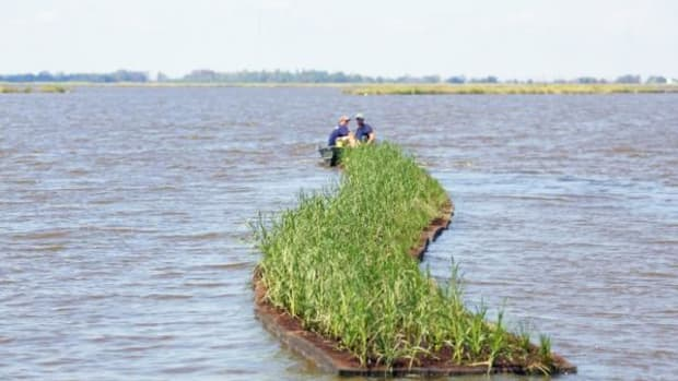 Towing grass-bearing mats out to sea in the hope of restoring needed marshes