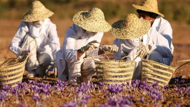 Farmers are seen here harvesting Saffron in Iran. Because the herb has to be hand-harvested it is one of the most expensive.