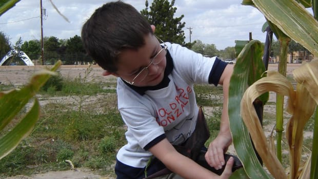 Tourists and locals can learn traditional agriculture practices in the Resilience Garden at the Indian Pueblo Cultural Center where one of the many crops is corn, one of the three sisters. This young man helps with the corn harvest, a community activity.