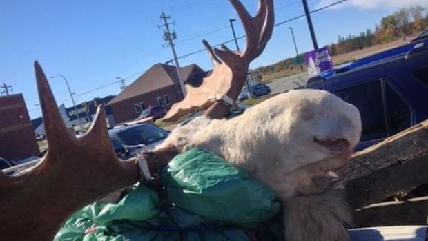 This white moose, considered a spiritual being among the Mi'kmaq, was gunned down by hunters in Nova Scotia on October 3. Millbrook First Nation member Brandon Maloney, happening upon the hunters as they were driving away with their prize, snapped this photo to bear witness.
