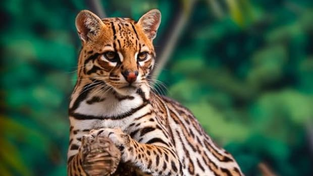 An ocelot rests on a tree.