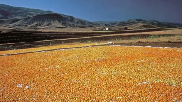 Apricots are halved and left in the sun to dry. This is on a much larger scale, but you can do it at home as well.