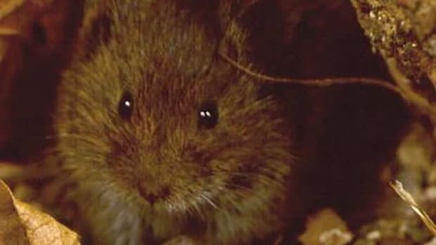 The Hualapai Mexican vole was listed as an endangered subspecies of Mexican vole in 1987, but federal officials are now taking it off the endangered list, saying they no longer believe it's a subspecies in need of protection.