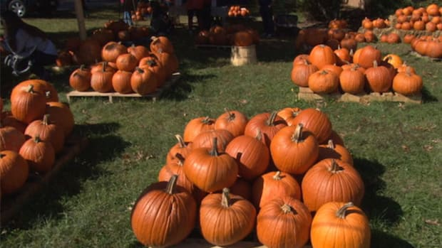 Pumpkin Patch Fundraisers grows pumpkins on land owned by the Navajo Agricultural Production Industry before shipping them for sale by hundreds of groups across the country.