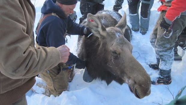 Seth Moore, tribal director of biology and environment for the Grand Portage Band of Chippewa Indians, attaches radio collar to a cow moose on the Grand Portage Reservation as part of an investigation into unprecedented moose deaths in Minnesota.
