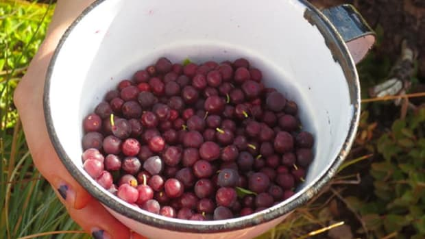 A cup of freshly picked huckleberries, one of many traditional foods of the Blackfeet Nation.