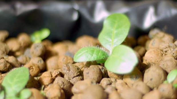 Two-week-old Native Tobacco/Cherokee Ceremonial Tobacco seedlings grown by Cherokee Nation citizen Eugene Wilmeth using Cherokee Nation Seed Bank inventory.