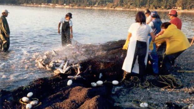 Swinomish tribal fishers pull in catch during days of plenty in 1987. This year the Puget Sound salmon fishery was all but closed because of low returns. It took an extra month to hammer out an agreement on how to handle the fishery with such low numbers.