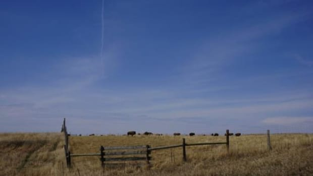Buffalo are seen along a country road on the Cheyenne River Indian Reservation.