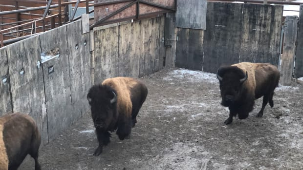 This photo provided by Don Woener shows bison gathered in a loading chute as they await transfer to a Montana Indian Reservation on Monday, Dec. 23, 2019, in Yellowstone National Park, Wyo. U.S. officials hope to use such transfers to reduce the number of bison sent to slaughter for disease control.