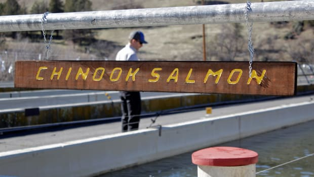 FILE - In this March 3, 2020, file photo, Demian Ebert, the Klamath program manager for PacifiCorp, looks at a tank holding juvenile chinook salmon being raised at the Iron Gate Hatchery at the base of the Iron Gate Dam near Hornbrook, Calif. Federal regulators on Thursday, July 16. 2020, threw a significant curveball at a coalition that has been planning for years to demolish four massive hydroelectric dams on a river along the Oregon-California border to save salmon. The project, estimated at nearly $450 million, would reshape California's second-largest river and empty giant reservoirs. It could also revive plummeting salmon populations by reopening hundreds of miles of potential habitat that has been blocked for more than a century, bringing relief to a half-dozen tribes that rely on salmon fishing that are spread across hundreds of miles in southern Oregon and northern California. (AP Photo/Gillian Flaccus, File)