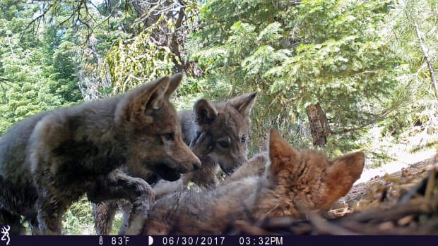 This June 30, 2017 remote camera image released by the U.S. Forest Service shows a female gray wolf and her mate with a pup born in 2017 in the wilds of Lassen National Forest in Northern California. Trump administration officials on Thursday, Oct. 29, 2020, stripped Endangered Species Act protections for gray wolves in most of the U.S., ending longstanding federal safeguards and putting states in charge of overseeing the predators. (U.S. Forest Service via AP, File)