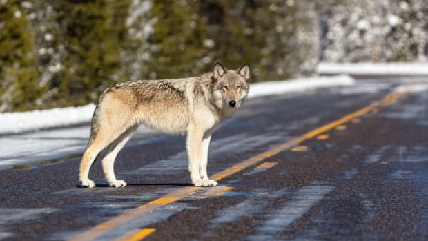 A wolf near Artist Paintpots in Yellowstone National Park, Wyo. Wolves have repopulated the mountains and forests of the American West with remarkable speed since their reintroduction 25 years ago, expanding to more than 300 packs in six states. (Jacob W. Frank/National Park Service via AP)