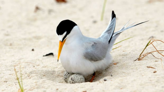 In this Saturday, May 1, 2010 file photo, a least tern checks her two eggs on the beach in Gulfport, Miss. The interior least tern, a hardy Midwestern bird that survived a craze for its plumage and dam-building that destroyed much of its habitat, has soared off the endangered species list. Federal officials said Tuesday, Jan. 12, 2020, that 35 years of legal protection and habitat restoration efforts had brought the tern back from the brink of extinction. (AP Photo/Dave Martin File)